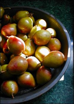 Seckle_pears_3
